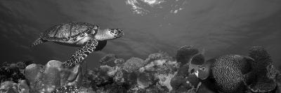 Hawksbill Turtle and French Angelfish with Stoplight Parrotfish--Photographic Print