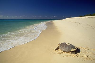Hawksbill Turtle by Sea--Photographic Print