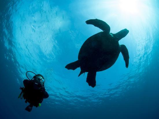 Hawksbill Turtle (Eretmochelys Imbricata) and Diver, Sulawesi, Indonesia, Southeast Asia, Asia-Lisa Collins-Photographic Print