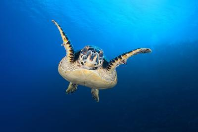 Hawksbill Turtle (Eretmochelys Imbricata) Cruising Along the Drop Off of a Coral Reef-Alex Mustard-Photographic Print