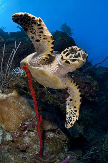 Hawksbill Turtle (Eretmochelys Imbricata) on a Reef Wall with a Rope Sponge-Alex Mustard-Photographic Print
