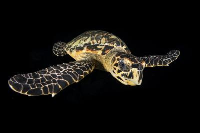 Hawksbill Turtle (Eretmochelys Imbricata) Swimming at Night-Alex Mustard-Photographic Print