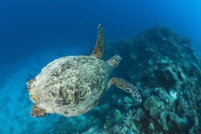 Hawksbill Turtle (Eretmochelys Imbricata)-Reinhard Dirscherl-Photographic Print