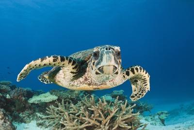 https://imgc.artprintimages.com/img/print/hawksbill-turtle-eretmochelys-imbricata_u-l-pzr1yj0.jpg?p=0