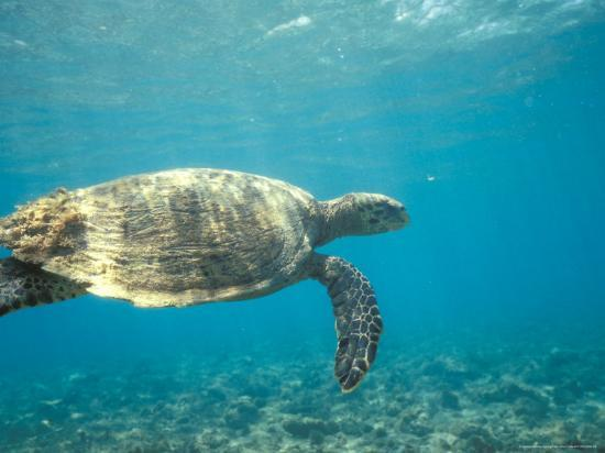 Hawksbill Turtle, Mayotte Island, Comoros, Africa-Pete Oxford-Photographic Print