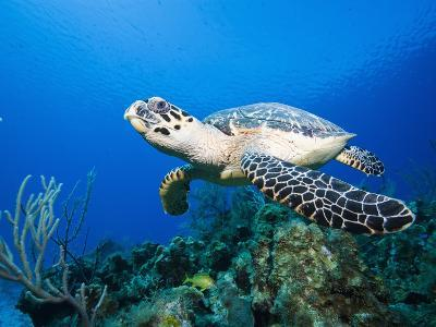 Hawksbill Turtle Swimming above Reef-Paul Souders-Photographic Print