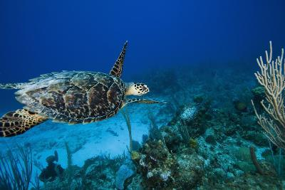 Hawksbill Turtle Swimming Above Reef--Photographic Print