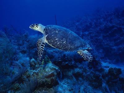Hawksbill Turtle, Swimming, Caribbean-Gerard Soury-Photographic Print