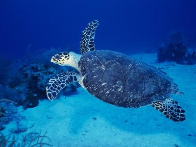 Hawksbill Turtle, Swimming Grand Caicos, Caribbean-Gerard Soury-Photographic Print