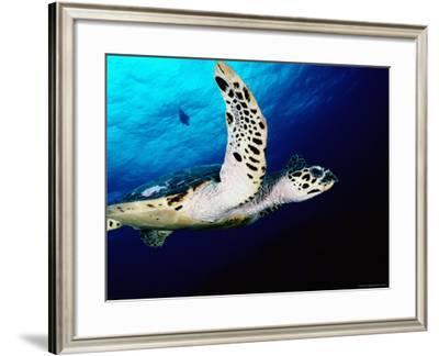 Hawksbill Turtle Swimming in Ema Reef, Kimbe Bay-Robert Halstead-Framed Photographic Print