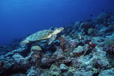 Hawksbill Turtle-Alexis Rosenfeld-Photographic Print
