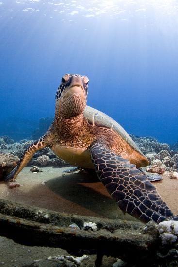 Hawksbill Turtle--Photographic Print