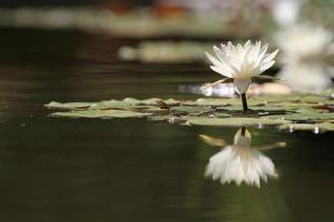Reflection Lotus Flower by Hayati Kayhan