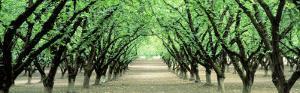 Hazel Nut Orchard, Dayton, Oregon, USA