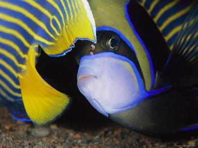 Head and Tail of a Pair of Emperor Angelfish-Tim Laman-Photographic Print