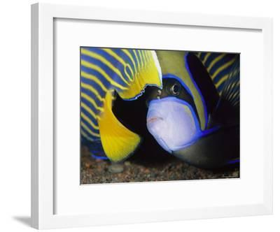 Head and Tail of a Pair of Emperor Angelfish-Tim Laman-Framed Photographic Print