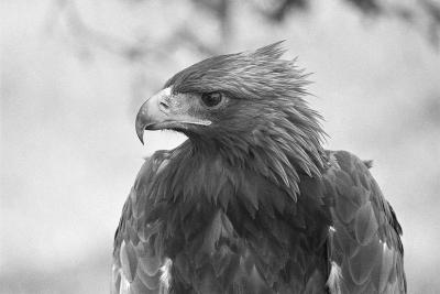 Head of a Golden Eagle--Photographic Print