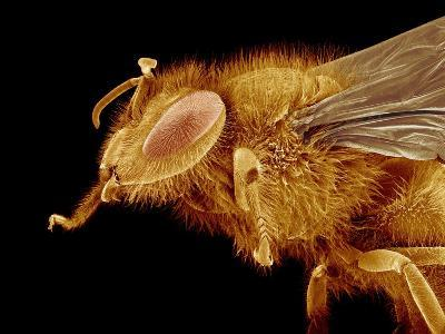 Head of a Honeybee-Micro Discovery-Photographic Print