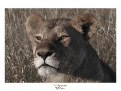 Head of a Lioness Landscape-Martin Fowkes-Giclee Print