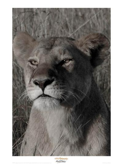 Head of a Lioness Portrait-Martin Fowkes-Giclee Print