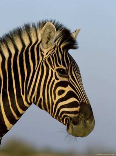 Head of a Zebra, South Africa, Africa-Steve & Ann Toon-Photographic Print