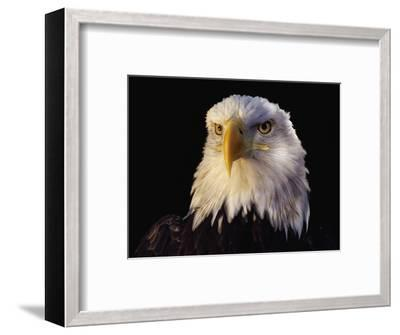 Head of Adult American Bald Eagle-W^ Perry Conway-Framed Photographic Print