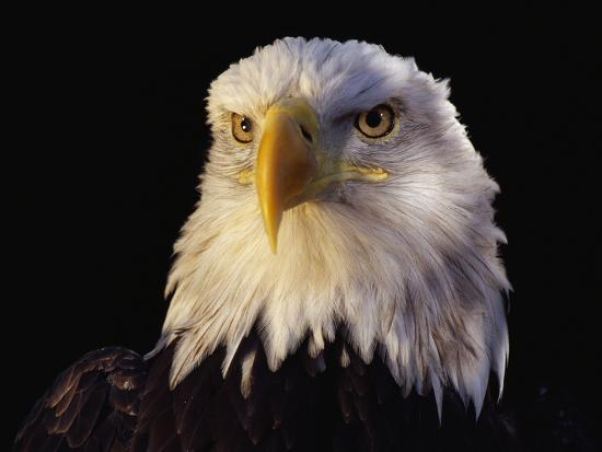 Head of Adult American Bald Eagle-W^ Perry Conway-Photographic Print