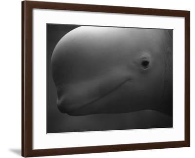 Head of Beluga-Henry Horenstein-Framed Photographic Print