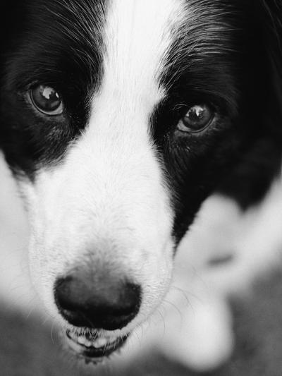 Head of Border Collie-Henry Horenstein-Photographic Print