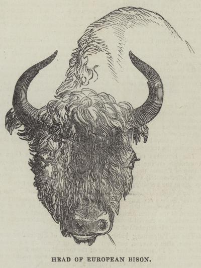 Head of European Bison--Giclee Print