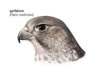 Head of Gyrfalcon (Falco Rusticolus), Birds-Encyclopaedia Britannica-Art Print