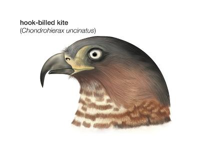 Head of Hook-Billed Kite (Chondrohierax Uncinatus), Birds-Encyclopaedia Britannica-Art Print