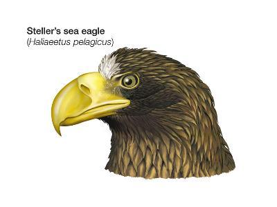 Head of Steller's Sea Eagle (Haliaeetus Pelagicus), Birds-Encyclopaedia Britannica-Art Print