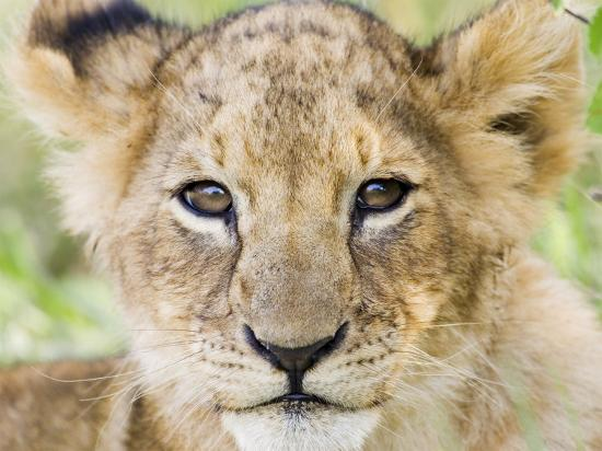 Head on Shot of Lion Cub Looking at Camera, Masai Mara Game Reserve, Kenya, East Africa, Africa-James Hager-Photographic Print