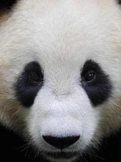 Head Portrait of a Giant Panda Bifengxia Giant Panda Breeding and Conservation Center, China-Eric Baccega-Photographic Print