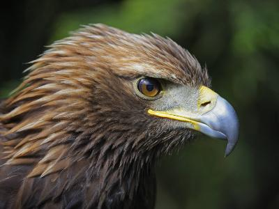 Head Portrait of Golden Eagle, France-Eric Baccega-Photographic Print