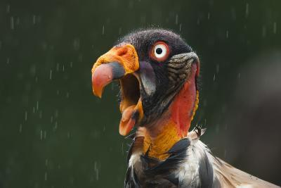 Head Portrait Of King Vulture (Sarcoramphus Papa) Calling In The Rain, Santa Rita, Costa Rica-Bence Mate-Photographic Print