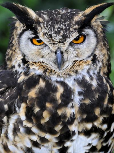 Head Portrait of Spotted Eagle-Owl Captive, France-Eric Baccega-Photographic Print