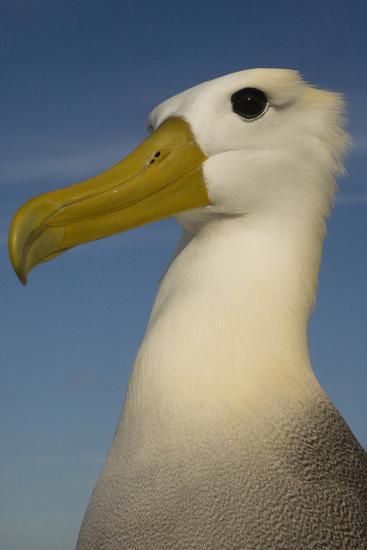 Head Portrait Of Waved Albatross (Phoebastria Irrorata) Punto Cevallos-Pete Oxford-Photographic Print