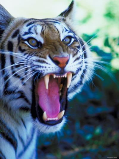 Head Shot of Angry Growling Tiger--Photographic Print
