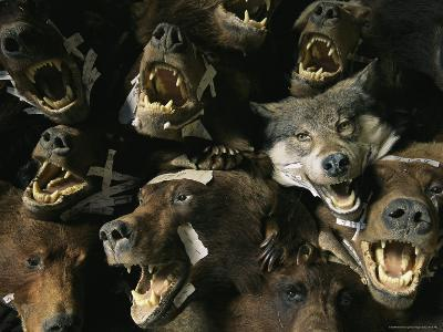 Heads of Grizzly Bears and Timber Wolves in a Taxidermists Studio-Joel Sartore-Photographic Print