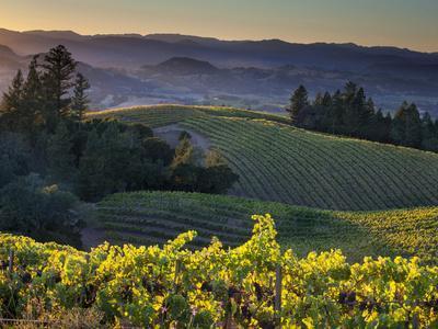 Healdsburg, Sonoma County, California: Vineyard and Winery at Sunset-Ian Shive-Premium Photographic Print
