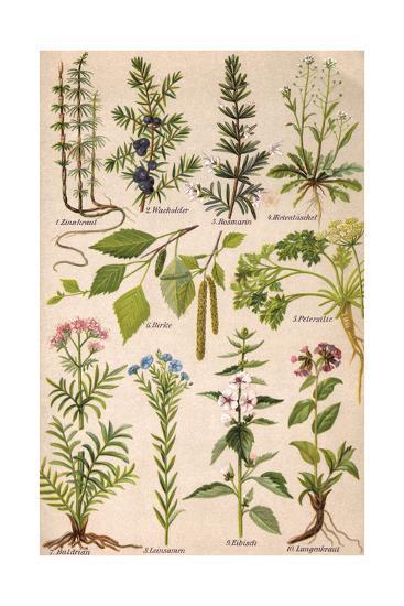 Healing Plants 1904 Pl.2-Anna Fischer-Duckelmann-Giclee Print