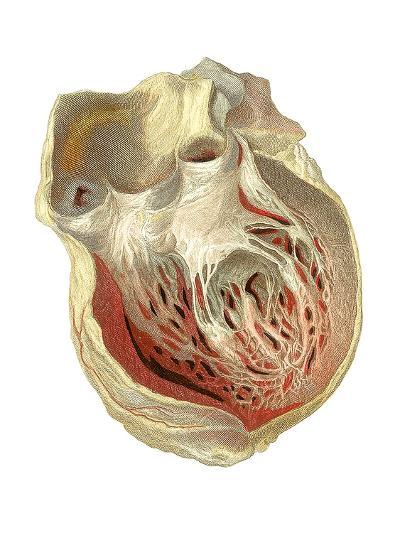 Heart Anatomy, Artwork-Mehau Kulyk-Photographic Print