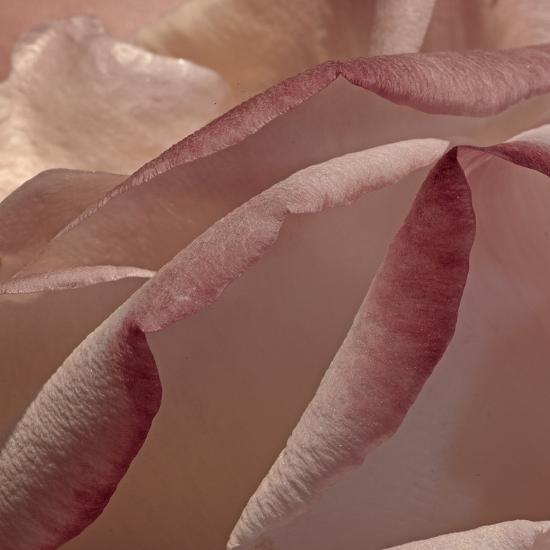Heart of a Rose XII-Rita Crane-Photographic Print