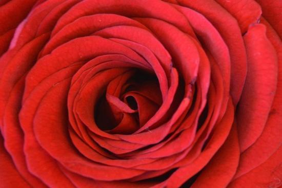 Heart Of The Rose-Sheldon Lewis-Art Print