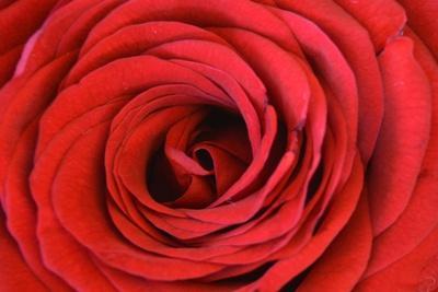 https://imgc.artprintimages.com/img/print/heart-of-the-rose_u-l-q1g7hkp0.jpg?p=0