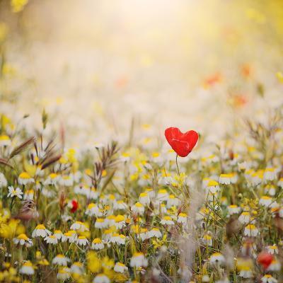 Heart Shaped Poppy-Julia Davila-Lampe-Photographic Print