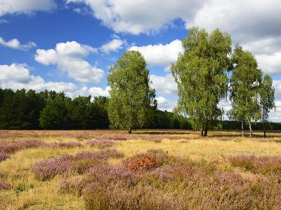 Heath Landscape, Blossoming Heather, Birches, Near Lychen, Brandenburg, Germany-Andreas Vitting-Photographic Print