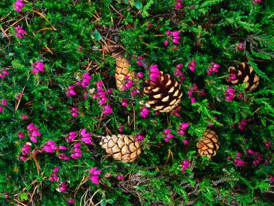 Heather and Scots Pine (Pinus Sylvestris), the Cairngorms, Scotland-Grant Dixon-Photographic Print